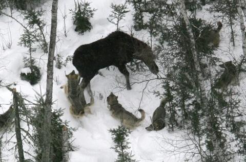 Vučji čopor u akciji